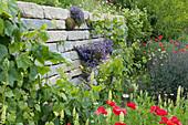 Trockenmauer aus Granit mit Polsterglockenblume, Weinreben, Klatschmohn, gelber Wau und blauer Kohlrabi mit Samenansatz