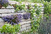 Trockenmauer aus Granit mit Polsterglockenblume und Weinreben