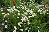 Frühlings-Margerite im Beet