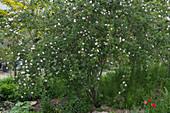 Blühende Hundsrose im Naturgarten