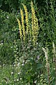 Gelbe und weiße Königskerzen im Naturgarten