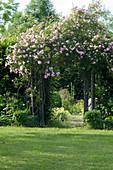 Ramblerrose 'Kirschrose' am Rosenbogen