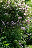 Ramblerrose 'Kirschrose' und Kandelaber-Ehrenpreis im Beet