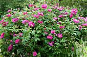 Apothekerrose - Rosa gallica officinalis