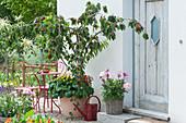 Kirschbaum 'Maynard' unterpflanzt mit Zweizahn und Veilchen, Dahlie im Korb