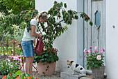 Frau gießt Sauerkirsche 'Maynard', Hund Zula sitzt neben Dahlie