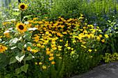 Gelbes Beet mit Sonnenblume und Mädchenauge 'Grandiflora' 'El Dorado'