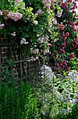 Blühende Kletterrosen am Wandspalier, Beet mit Glockenblumen, Fenchel, Aster und Malve