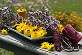 Gelbe Blüten von Strohblumen und blühender Oregano geschnitten zum Trocknen