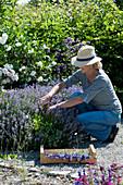 Frau erntet Lavendel