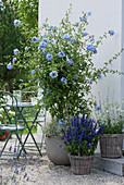 Terrasse mit blühender Bleiwurz, Mehlsalbei und Prachtkerze