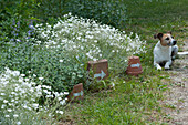 Blühendes Hornkraut und Katzenminze im Beet, Tontöpfe und Schale mit weißem Pfeil als Wegweiser, Hund Zula