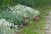 Blühendes Hornkraut und Katzenminze im Beet, Tontöpfe und Schale mit weißem Pfeil als Wegweiser