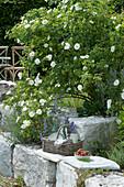 Parkrose 'Semiplena' und Katzenminze, Korb mit Flaschen, Teller, Besteck und Servietten, Schälchen mit Erdbeeren auf Sitzkissen