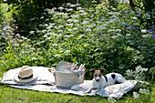 Picknick im Naturgarten: blühender Giersch, Decke, Kissen, Hut, Korb mit Besteck, Teller und Gläsern, Hund Zula