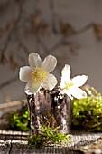 Blüten von Christrose im Glas