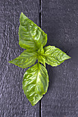 Closeup of fresh basil leaf