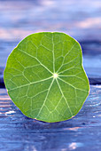 Closeup of nasturtium leaf