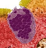 Goblet cell, TEM