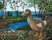Dodo, illustration
