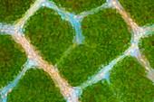 Beech tree leaf, polarised light micrograph