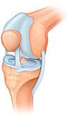 Knee joint, illustration