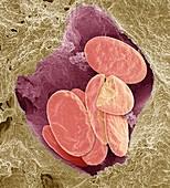 Snake red blood cells, SEM