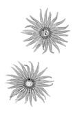Sunflower sea stars, X-ray