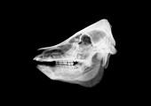 Animal skull, X-ray