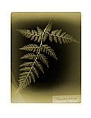 Fern (Dryopteris dilatata), X-ray
