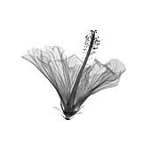 Hibiscus, X-ray
