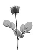 Rose stem with leaves, X-ray