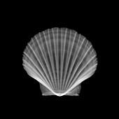 Scallop shell, X-ray