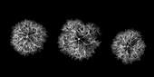 Hydrangea flowers, X-ray