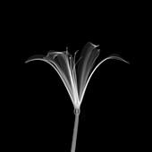Nerine flower, X-ray