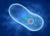 Coxiella burnetii bacterium, illustration
