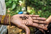 Gewürznelken auf flacher Hand (Sri Lanka)