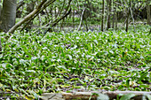 Wild garlic in a forest clearing