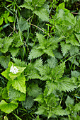Stinging nettles with flowers