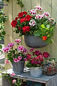 Stehende Geranien 'Sarita Dark Red' 'Flower Fairy White Splash' 'Flower Fairy Pink' 'Grandeur Power Burgundy' und Kapuzinrekresse