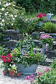 Zinkwanne bepflanzt mit Strauchbasilikum, Engelsgeranie 'Angeleyes Randy' und Tomatenpflanze, Töpfe mit Geranien \n 'Tango Neon Purple' 'Red White Bicolor', Tomate und Mangold
