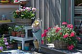 Geranien 'Happy Face® Dark Red Mex' 'Flower Fairy White Splash' in Körben mit Zauberschnee und Prachtkerze