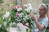 Hängeampel mit Geranien 'Happy Face White', 'Flower Fairy White Splash' und Schneeflockenblume 'Big White', Frau putzt verblühte Blüten aus