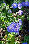 Blaue Blüten von Storchschnabel 'Rozanne'