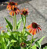 Honigbiene auf Blüte vom Scheinsonnenhut Conetto 'Orange'