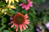 Blüte vom Scheinsonnenhut und Biene im Flug