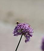 Mistbiene an Blüte von Berglauch