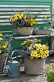 Blau-gelbes Arrangement mit Kapkörbchen Summersmile 'Yellow' 'Double Golden Yellow', Katzenminze 'Purrsian Blue' und Zweizahn 'Sweetie'