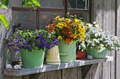 Fächerblume Surdiva 'Violet Blue', Zweizahn Duo 'Sunshine' und Schneeflockenblume 'Big White' am Fenster  vom Schuppen