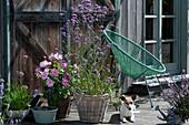 Bienenfreundliche Terrasse mit Dahlie, Berglauch und Eisenkraut, Hund Zula und Acapulco-Chair